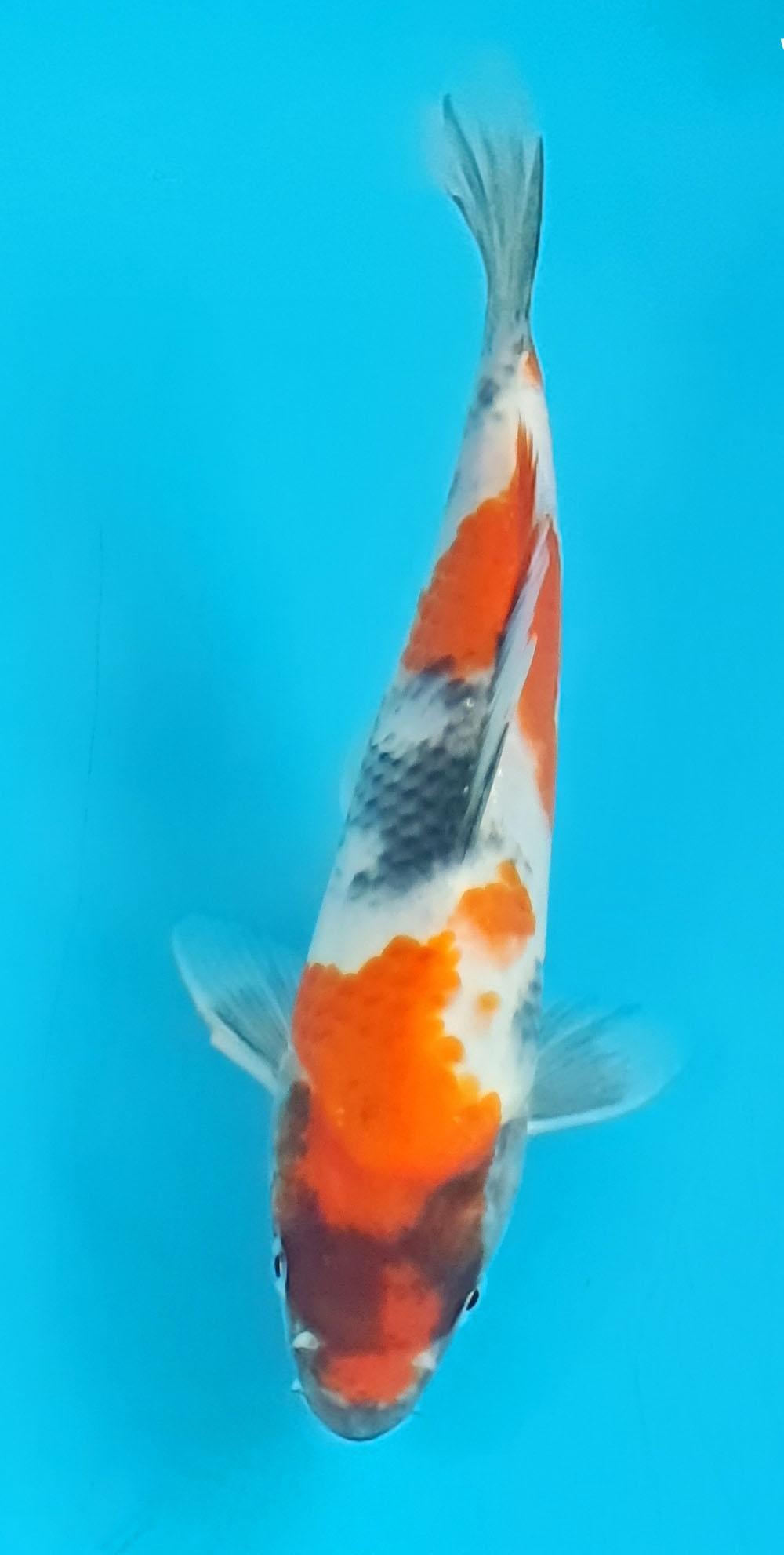 Showa Testfisch